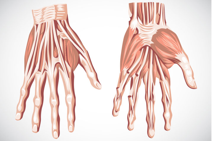 Anatomy of the hands